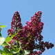 Lilac Flowers Against The Blue Sky - VideoHive Item for Sale