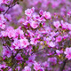 Closeup shot of Rhododendron dauricum flowers - PhotoDune Item for Sale