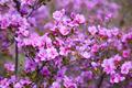 Closeup shot of Rhododendron dauricum flowers - PhotoDune Item for Sale