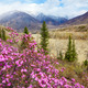 Altai landscape with Rhododendron dauricum flowers - PhotoDune Item for Sale