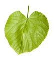 Green linden-tree leaf - PhotoDune Item for Sale