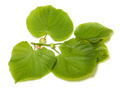Green linden-tree leafs on white background - PhotoDune Item for Sale