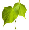 Green linden-tree leafs - PhotoDune Item for Sale