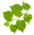 Green tilia leafs on white background - PhotoDune Item for Sale
