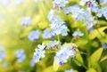 Forget me not plant - PhotoDune Item for Sale