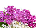 Purple and white lilac flowers - PhotoDune Item for Sale