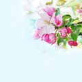 Apple blossom - PhotoDune Item for Sale