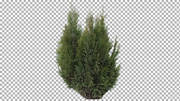Real Coniferous Plant Isolated 3 Strong Wind