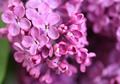lilac flowers - PhotoDune Item for Sale