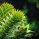 Exotic Monkey Puzzle Tree In The Rain - VideoHive Item for Sale