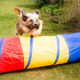 Dog Agility with jumping Tibetan Terrier - PhotoDune Item for Sale