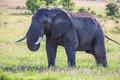 elephant family walking in the savanna
