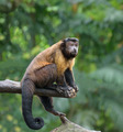 Brown capuchin monkey - PhotoDune Item for Sale