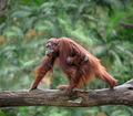 Mother orangutang walking with its baby - PhotoDune Item for Sale