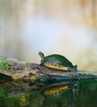 Florida Cooter Turtle - PhotoDune Item for Sale