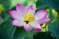 Bumble Bee and lotus flower in blooming - PhotoDune Item for Sale