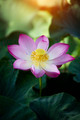 beautiful lotus flower in blooming - PhotoDune Item for Sale