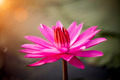 Pink waterlily in the sunrise. - PhotoDune Item for Sale