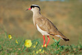 Crowned plover - PhotoDune Item for Sale