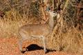 Klipspringer antelope - PhotoDune Item for Sale