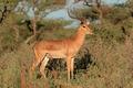 Impala antelope - PhotoDune Item for Sale