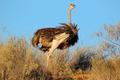 Female ostrich - PhotoDune Item for Sale