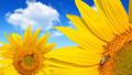Honey bee on a sunflower - PhotoDune Item for Sale