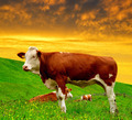 Cow in the meadow  - PhotoDune Item for Sale