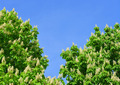 Blossoming chestnut tree - PhotoDune Item for Sale