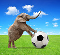 elephant with soccer ball  - PhotoDune Item for Sale