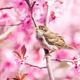 Sparrow in flowering peach tree - PhotoDune Item for Sale
