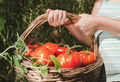 Picking tomatoes in basket - PhotoDune Item for Sale