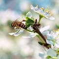 bee pollinates a flower cherry closeup - PhotoDune Item for Sale