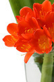 Clivia flowers blooming isolated on white background - PhotoDune Item for Sale