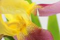 Yellow iris flower closeup on white background - PhotoDune Item for Sale