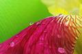 Vibrant yellow magenta iris flower petals closeup with raindrops - PhotoDune Item for Sale