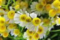 Chamomile flowers closeup background - PhotoDune Item for Sale
