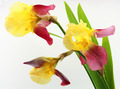 Yellow iris flowers isolated on white background - PhotoDune Item for Sale