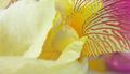 Yellow iris flower petals closeup - PhotoDune Item for Sale