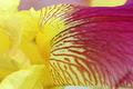 Vibrant yellow magenta iris flower petals closeup - PhotoDune Item for Sale