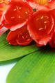 Clivia flowers with water drops closeup isolated on white background - PhotoDune Item for Sale