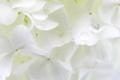 White Viburnum opulus flowers with dew closeup background - PhotoDune Item for Sale