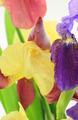 Purple and yellow iris flowers on white backgroun - PhotoDune Item for Sale