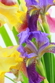 Purple and yellow iris flowers on white background - PhotoDune Item for Sale