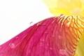 Vibrant yellow magenta iris flower petals closeup with raindrops on white - PhotoDune Item for Sale