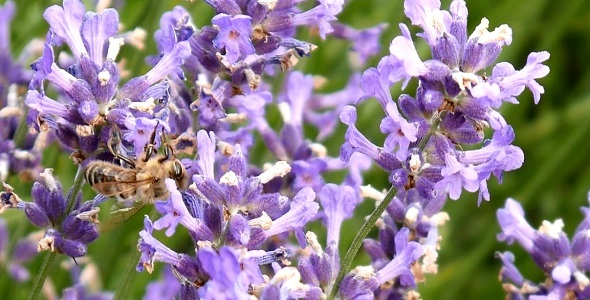 Bees Nature