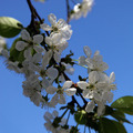 Branch cherry blossoms on a sunny day. - PhotoDune Item for Sale