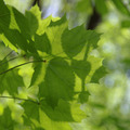 Young green leaves of maple in sunny day. - PhotoDune Item for Sale