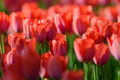 Red tulips in the garden - PhotoDune Item for Sale