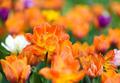 Yellow tulips in the garden - PhotoDune Item for Sale